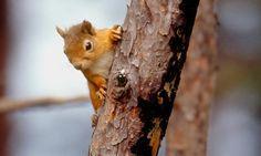 Scozia Wildlife – Lo scoiattolo rosso