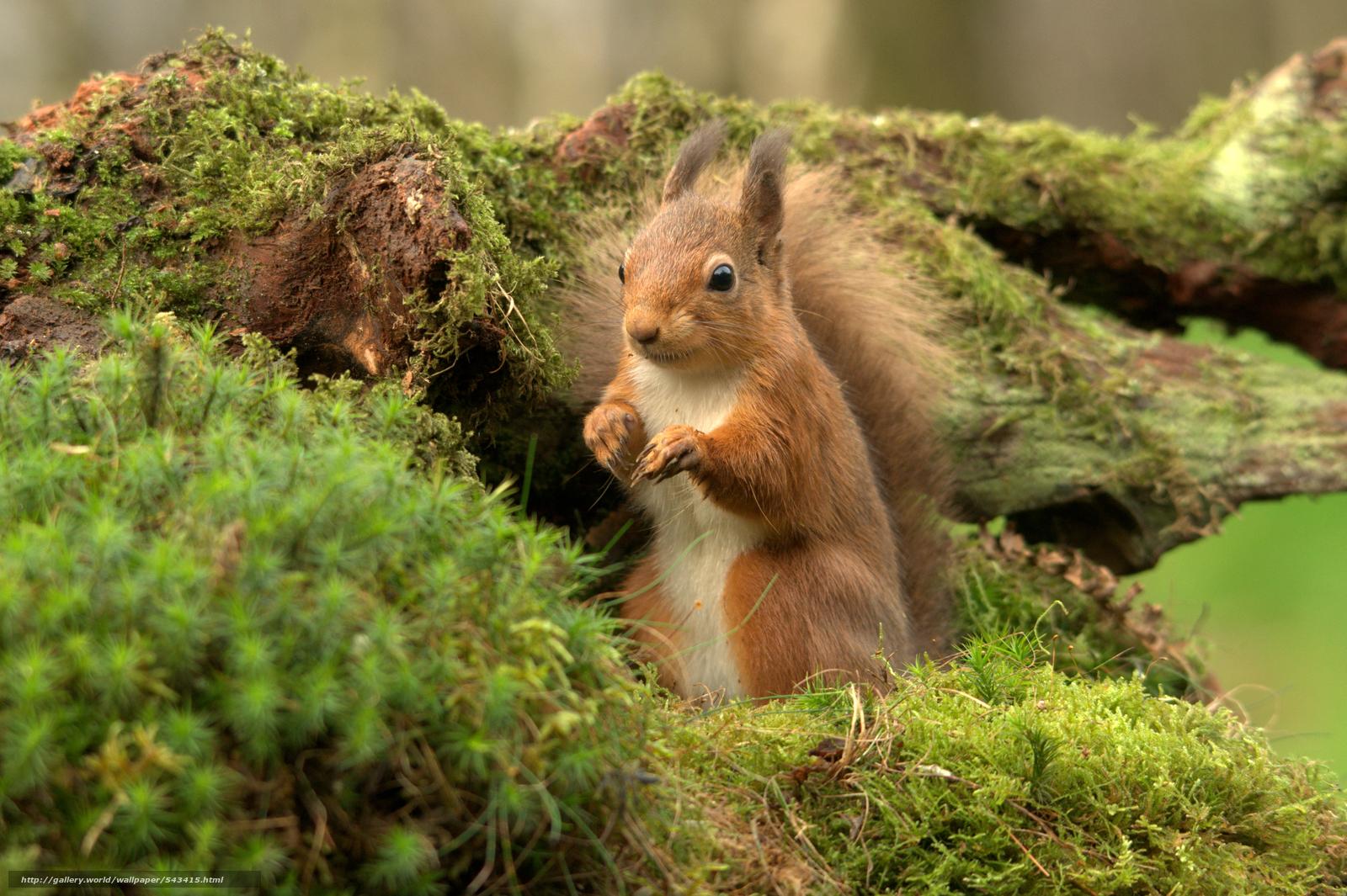 scoiattolo-scozzese