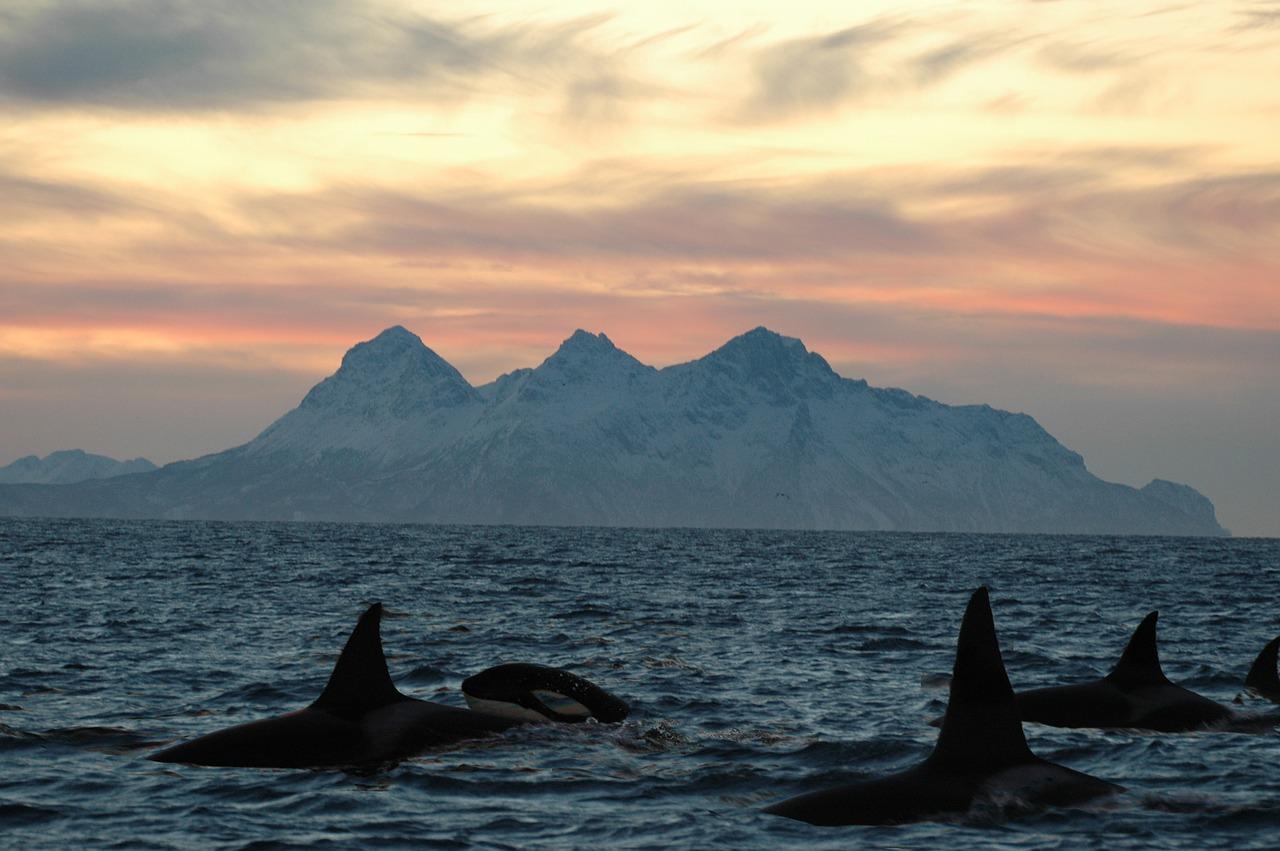 orche-lofoten