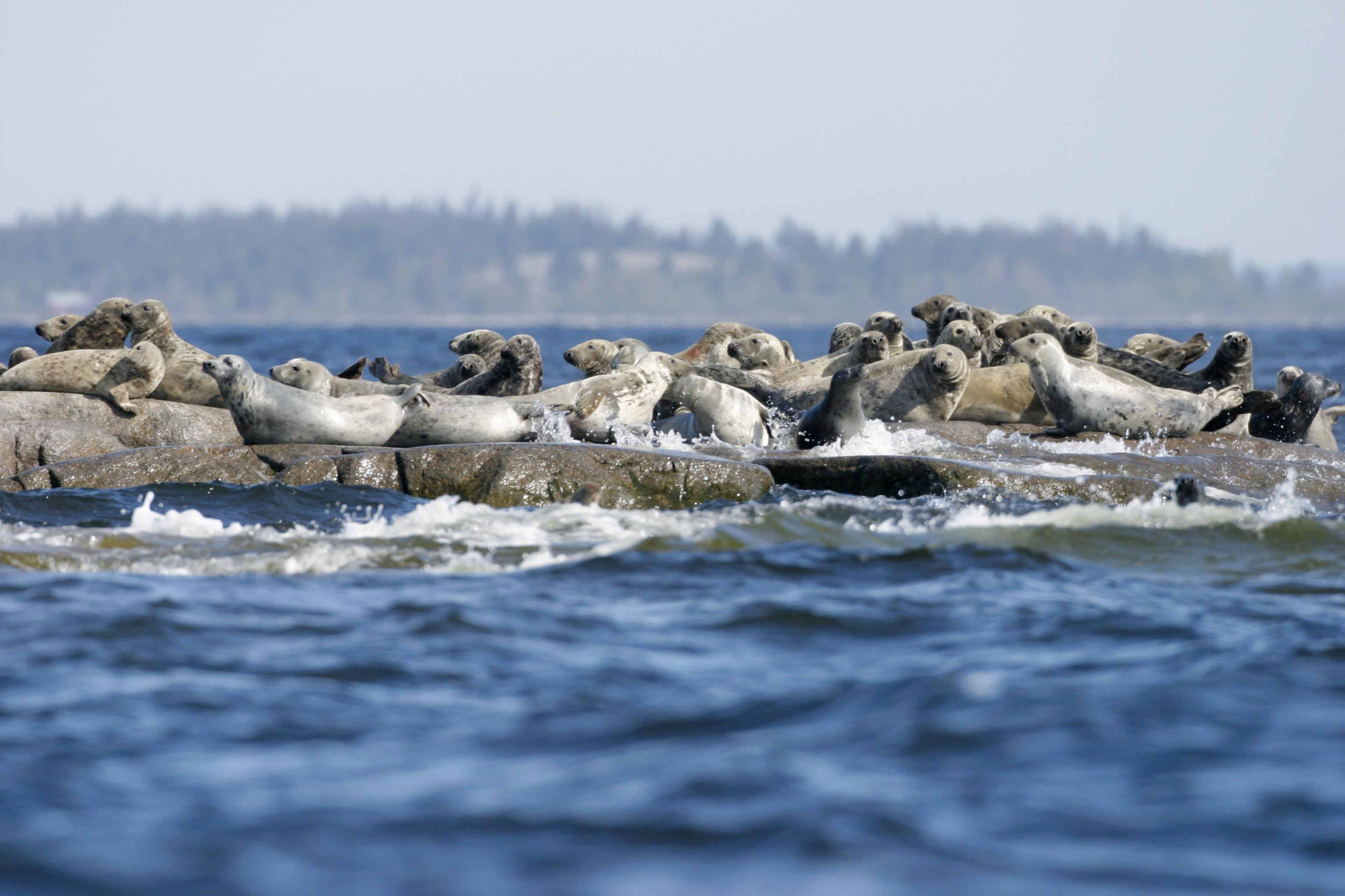 safari-avvistamento-foche-svezia